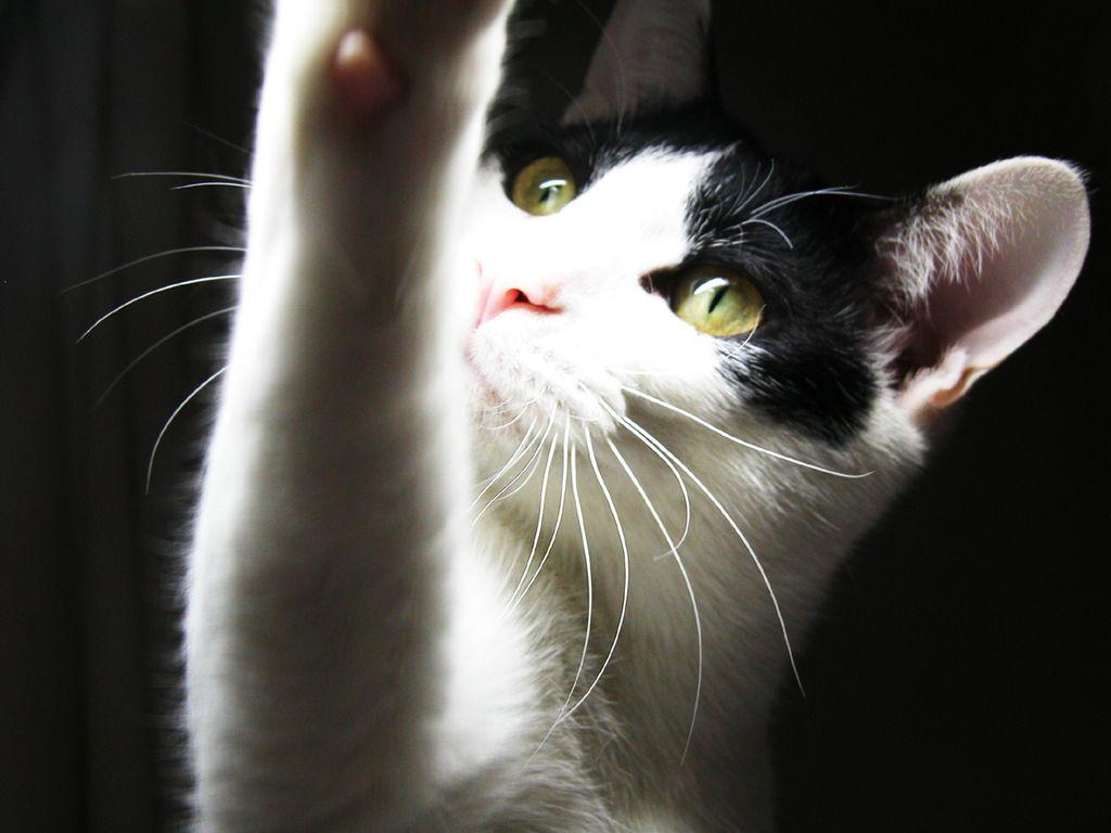 Cat elvis - Wikimedia Commons